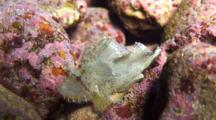 Ivory Colored Leaf Scorpionfish, Nestled Among Rocks, Moves In Surge