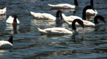 Group Black-Necked Swans Feed On Seaweed