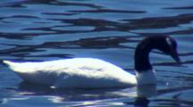 Black-Necked Swan Feeds On Seaweed