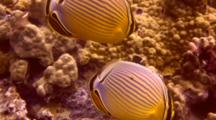 2 Oval Butterflies Search Food On Coral Reef