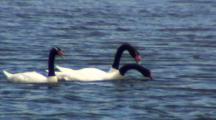 Small Group Black-Necked Swans Feeding On Seaweed
