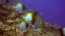 Pyramid Butterflies(Hemiaurichthys Zoster)Cleaned By Hawaiian Cleaner Wrasse