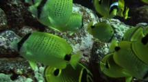 Various Butterfly Fish Swarm Camera--Feed Fish Eggs