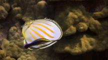 Single Ornate Butterfly Cleaned By Hawaiian Cleaner Wrasse