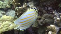 Ornate Butterfly Feeds On Algae On Lobe Coral