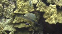 Ornate Butterfly, Trumpetfish At Cleaning Station