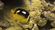 Fourspot Butterfly Feeds On Lobe Coral Algae