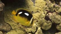 Fourspot Butterfly Feeds On Lobe Coral Algae
