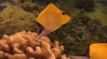 Pair Longnose Butterflies Feed Algae On Cauliflower Coral
