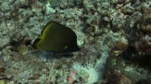 Pair Longnose Butterflies (1 Yellow 1 Black) Feed In Coral Rubble