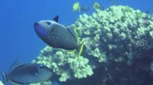 Gilded Triggerfish(Male)Swims Close To Camera