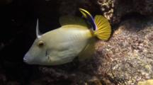 Barred Filefish, File Extended, Cleaned By Hawaiian Cleaner Wrasse