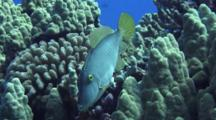 Barred Filefish Cleaned By Hawaiian Cleaner Wrasse