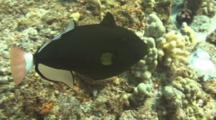 Pinktail Triggerfish Reacts To Nearby Camera