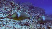 Pair Unicorn Surgeonfish Feeding In Coral Rubble