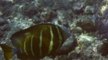 2 Sailfin Tang Eating Algae In Shallow Water