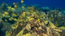 Lg School Surgeonfish Feeding En Masse
