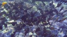 School Surgeonfish Feeding En Masse Shallow Water