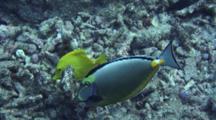 Orangespine Surgeonfish Feeding Coral Rubble