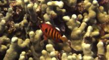 Very Colorful Flame Angelfish Hovers Just Above Finger Coral