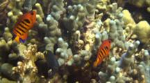 2 Colorful Flame Angelfish Hover Just Above Finger Coral