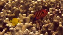 Colorful Flame Angelfish Swims Just Above Finger Coral