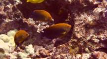 3 Potter's Angelfish Feed Just Above  Coral