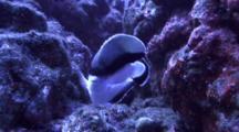 Bandit Angelfish Swims Very Close To Camera