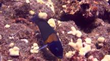 Saddle Wrasse Explores And Feeds