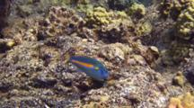 Belted Wrasse Traveling And Feeding