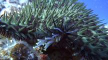 C/U Crown-Of-Thorns Sea Star Moving Across Coral