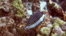 Adorable Whitley's Boxfish(Fem) Flits Around Coral