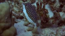 Adorable Whitley's Boxfish (Fem) Feeds Around Coral
