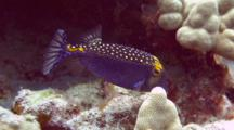Male Spotted Boxfish Staying Close To Coral