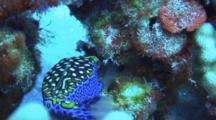 Male Spotted Boxfish Feeding, Staying Close To Coral