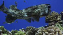 Spiny Porcupinefish Swims Close To Reef