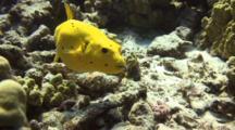 Rare(In Hawaii)Yellow Puffer Fish Eats Small Urchin