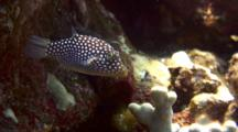 Hawaiian Whitespotted Puffer Staying Close To Bottom