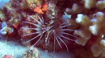 Hawaiian Turkeyfish Displays Beautiful Fins