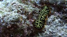 Tiger Flatworm Climbs Up Slope