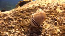 Hermit Crab In Spiny Helmet Shell Scrambles Around