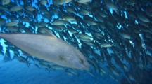 Predator Amberjacks Swim Below School Akule