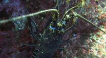 Spiny Lobster Lets Camera Approach, Then Flees