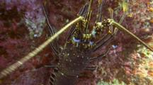 Spiny Lobster Lets Camera Approach, Then Flees, Stops
