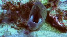 Undulated Moray Approaches Camera With Mouth Open
