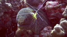 Scarlet Lady Cleaner Shrimp Jumps On White Mouth Moray Eel