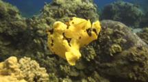 Beautiful Yellow Warty Frogfish Swims To Coralhead