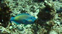 Bullethead Parrotfish Feeding On Coral Several Places
