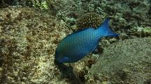 Palenose Parrotfish Swimming, Looking For Coral To Eat