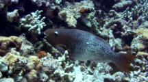 Female Redlip Parrotfish, C/U Mouth Eating Coral